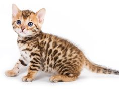 Bengal Cats - #cat - Different Bengal Cat Breeds at Catsincare.com