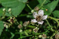 Bee on blossom, bij op bloesem