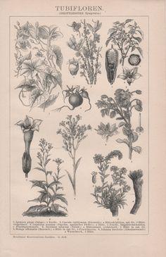 1898 Botanical Illustration Antique Print by Craftissimo on Etsy