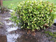 holly bush - Google Search