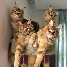 Four look alike beautiful cats in one cat tree.