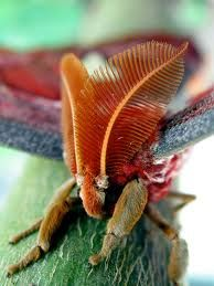 atlas moth -  here are the antennae that maybe a striped feather could be used.