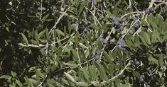 ¡Té de hojas de olivo es más poderoso que el té verde! Descubra porqué - e-Consejos