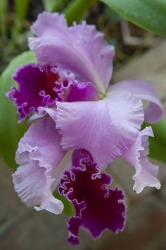 """Good News Miami"" Orchid"