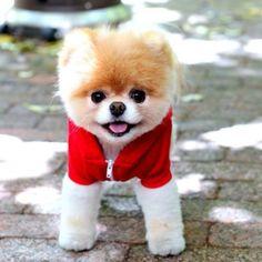 Boo...The World Cutest Dog