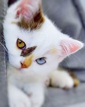 The Legend of the Ragdoll Cat Breed and the Tuxedo Bicolor Cat - Sammie's Corner Cafe' Ragdoll Cat Breed, Ragdoll Kittens, Cute Baby Cats, Cute Little Animals, Cute Cats And Kittens, Cute Funny Animals, Adorable Kittens, Fluffy Kittens, Funny Cats