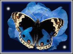 tui2546-butterfly-buterflys-animals-birds-and-bugs-amicizia_large
