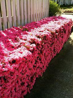 Cerca Viva com Azaléa (Rhododendron) - Direto do Produtor