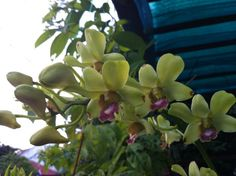 Pale yellow green and purple orchid also from my garden