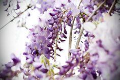 glicine | primavera | fiori | piante | lilla | viola