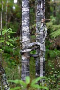 Pliant branch of Kauri  Agathis australis kauri   Araucariaceae  Stems and branches are very flexible and pliant and may be bent to form a loop. Maori artisans fashion these into rustic walking sticks, called tekoteko.