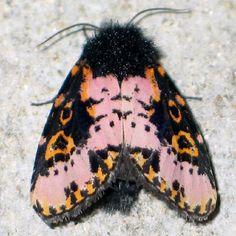 The afro, afro moth, Florida Everglades. Photo by Robin McLeod, 2007©