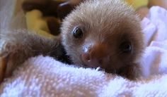 Baby sloths are probably the cutest animals ever. period.