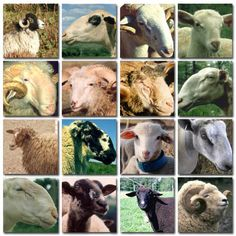 Sheep breeds (dead link, but a nice pic)