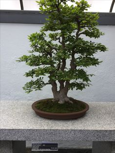 Pening - Chinese hackberry - 55 years old - Montreal Botanical Gardens Montreal Botanical Garden, Botanical Gardens, Old Montreal, Growing Tree, Bonsai, Chinese, Bonsai Plants