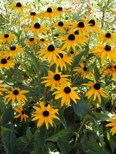 Goldstrum Rudbeckia variety has bigger flwers but only grows 2/3 as tall.