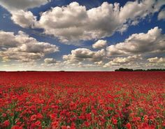 Poppies, Whiltshire, England: peterspencer49