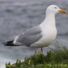 Herring Gull (Larus argentatus) found on the coasts of the North Atlantic of North America and Europe