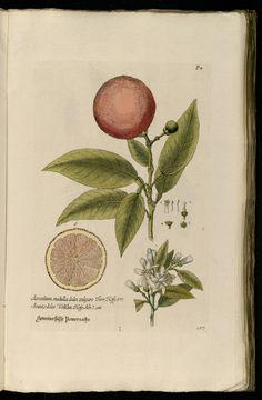 The Sweet Seville Orange   Aurantium medulla dulci, vulgare.   Knorr, G.W., Thesaurus rei herbariae hortensisque universalis, vol. 1: t. 117 (1750-1772)