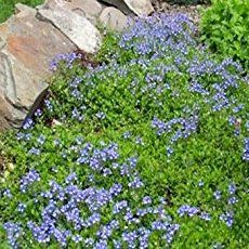 Speedwell Seeds - Veronica Repens Creeping Speedwell Ground Cover Seed Speedwell Seeds - Veronica Re Ground Covers For Sun, Low Growing Ground Cover, Ground Cover Plants, Blue Spruce, Clover Plant, Fairy Garden Plants, Fairy Gardens, Perennial Ground Cover, How To Grow Taller