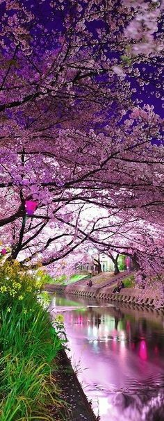 Cherry Blossoms Festival in Japan