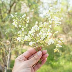 In Ayurvedic medicine, Moringa flowers are used to treat inflammations, muscle diseases, tumors, and enlargement of the spleen. they contain calcium and potassium.⠀ Be aware: flowers can act an abortifacient so do not use in pregnancy. Muscle Diseases, Moringa Benefits, Moringa Leaves, Moringa Powder, Ayurvedic Medicine, Organic Living, Superfood, Stuff To Do, Pregnancy