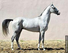 Argamak (Manas - Adita) Stallion 2004 Sovkhoz 2 Line.....(2016/02/20)