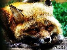 róka Fox, Animals, Animales, Animaux, Animal, Animais, Foxes