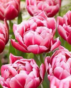Kerrattu tulppaani Columbus Spring Bulbs, Daffodils, Pokemon, Bloom, Lily, Gardening, Flowers, Plants, Google Search