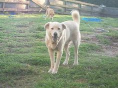 @Courtney Neal Bryant Thor is an adoptable Chow Chow Dog in Okeechobee, FL. Thor Breed: Chow Mix Age: 3.5 Years Weight: 65 Lbs Sex: Male Very Shy But When You Gain His Trust, � He is Loyal and Loving � For more info please...