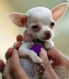 Chihuahua by deirdre