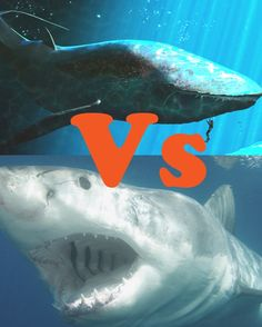 "Megalodon Shark Demands Rematch with Predator X and ""Moby ..."