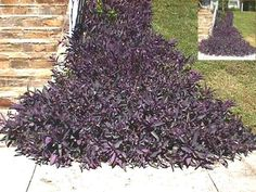 Purple wandering jew growing in full sun. It can be used as a ground cover for erosion control. The inset photo shows it growing all the way up the incline. Full Sun Ground Cover, Ground Cover Plants, Sloped Yard, Sloped Backyard, Outdoor Landscaping, Front Yard Landscaping, Landscaping Ideas, Patio Ideas, Backyard Ideas