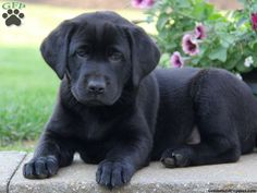 Black lab puppy with a velvety coat of fur! Description from pinterest.com. I searched for this on bing.com/images