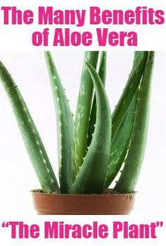 The Many Benefits of Aloe Vera . . . The Medicine Plant