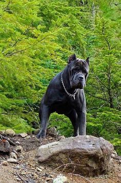 If you want a great place to buy dog accessories like dog beds, dog bowls, kennels, collars, harnesses and even dog clothing and dog food then just visit the site. Cane Corso Mastiff, Cão Cane Corso, Cane Corso Puppies, Mastiff Dogs, Rottweiler, Large Dog Breeds, Huge Dogs, Beautiful Dogs, Mans Best Friend