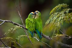 A pair of Peach-fronted Parakeets (Aratinga aurea) in intimate moment.