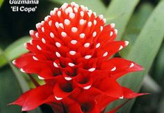 http://www.tropicalplantbook.com/garden_plants/images/bromeliads/billbergia/2/Guzmania-El-Cope--800.jpg