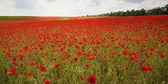 Klaproosvelden en vredesbomen herdenken de Groote Oorlog | Agentschap voor Natuur en Bos