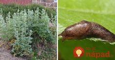 V záhrade sa oplatí mať túto rastlinu poruke. Pripravte ju takto a sami uvidíte, akú má silu! Flora, Gardening, Plants, Compost, Lawn And Garden, Plant, Planets, Horticulture