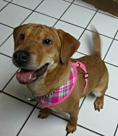 This adorable little girl is Camden, an 8 month old shar pei/beagle mix that is hoping for a loving family of her own.  Camden had a family at one point in her young life, but when they could no longer care for her, she was turned in to a New York...
