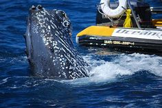 Humpback whale says hello - courtesy Ocean Riders