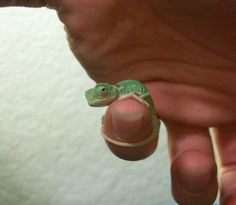 Funny pictures about The tiniest baby chameleon. Oh, and cool pics about The tiniest baby chameleon. Also, The tiniest baby chameleon. Cute Creatures, Beautiful Creatures, Animals Beautiful, Cute Baby Animals, Animals And Pets, Funny Animals, Baby Exotic Animals, Tier Fotos, Reptiles And Amphibians