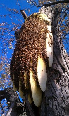 Natural bee hive - while it might be a bit scary, wouldn't it be nice to have one these some where in proximity to your (or my) garden?? ☺