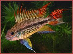 Rare African Cichlids   Which Cichlids Should I get to put into my Aquarium?