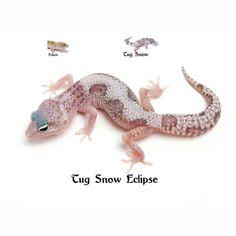 Leopard Gecko Tung Snow Eclipse Leopard Gecko Care, Leopard Gecko Morphs, Reptile Habitat, Reptile Terrarium, Cutest Thing Ever, Amphibians, Habitats, Turtle, Lizards