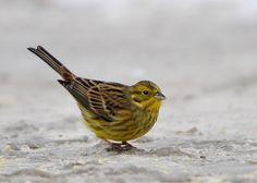 Natuurpunt-Bree fotogalerij - Vogels/Geelgors -- Emberiza citrinella