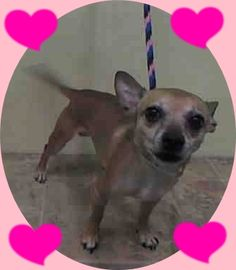 SAFE - 02/11/15 --- Manhattan Center   PEANUT - A1027040  MALE, BROWN, CHIHUAHUA SH MIX, 5 yrs STRAY - STRAY WAIT, NO HOLD Reason STRAY  Intake condition UNSPECIFIE Intake Date 02/02/2015 https://www.facebook.com/Urgentdeathrowdogs/photos/pb.152876678058553.-2207520000.1423177007./955858321093714/?type=3&theater +++++++CAME IN WITH PEANUT - A1027041 and WHEAT - A1027042+++++++
