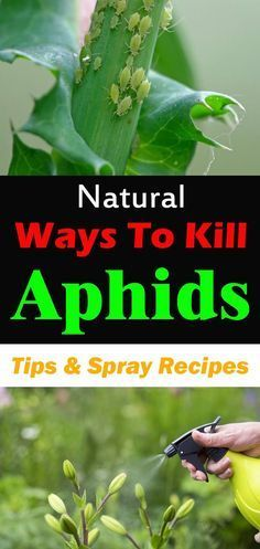 Natural ways to kill aphids.