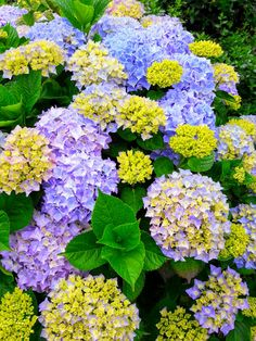 Colour in our garden at our #accessibleholiday #accommodation in #Brittany. Close to all ports and airports ideal location for exploring the area. #PinkGraniteCoast #Hortensia #accessibletourism Call for availability 0800 949 6801